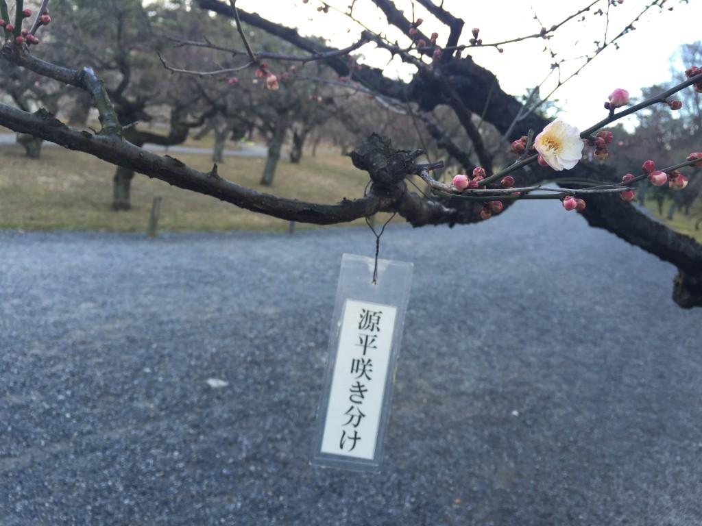 京都の梅スポット「元離宮二条城」四条烏丸からバスで10分9