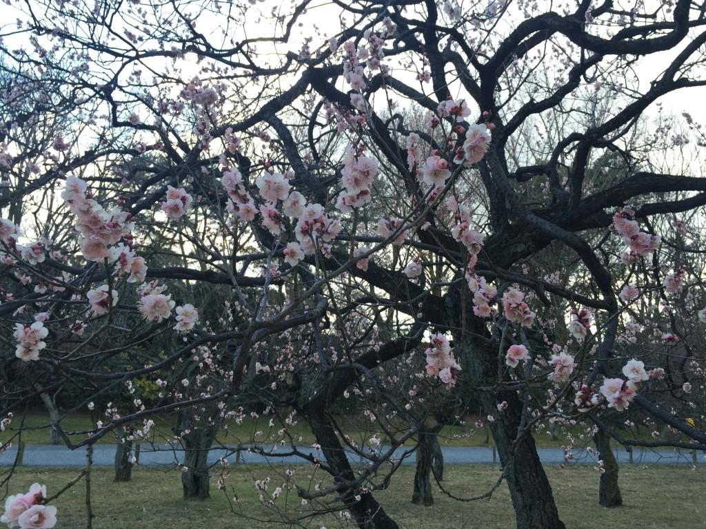京都の梅スポット「元離宮二条城」四条烏丸からバスで10分6