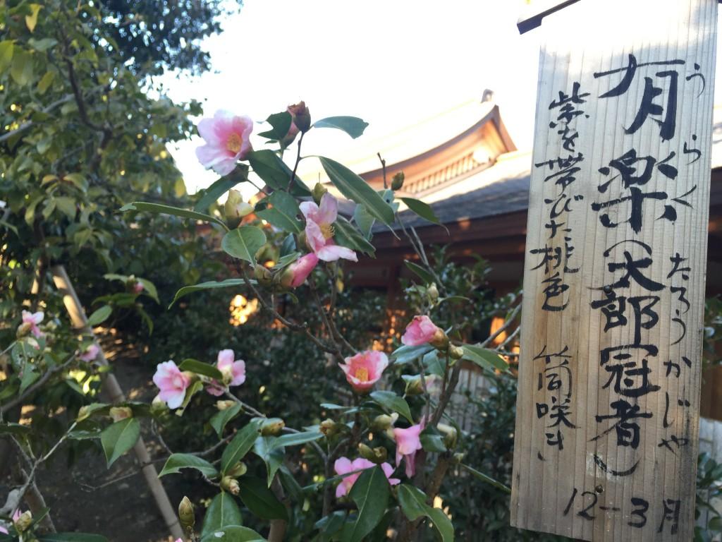 京都の梅スポット「城南宮」枝垂梅と椿まつり4