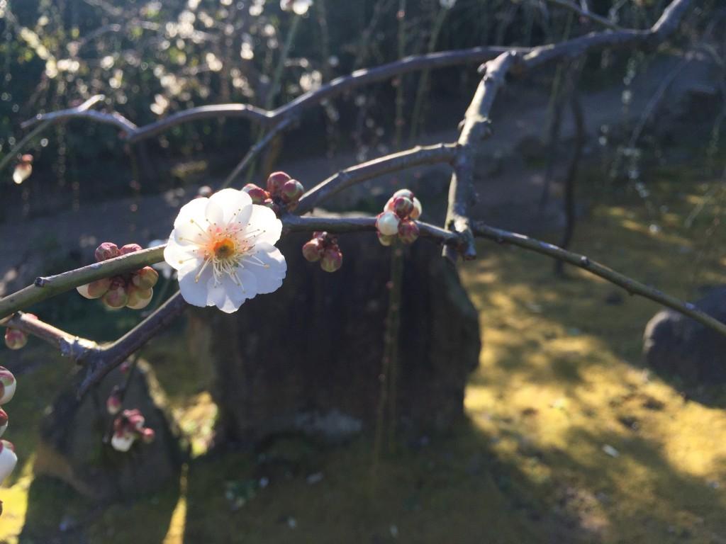京都の梅スポット「城南宮」枝垂梅と椿まつり6