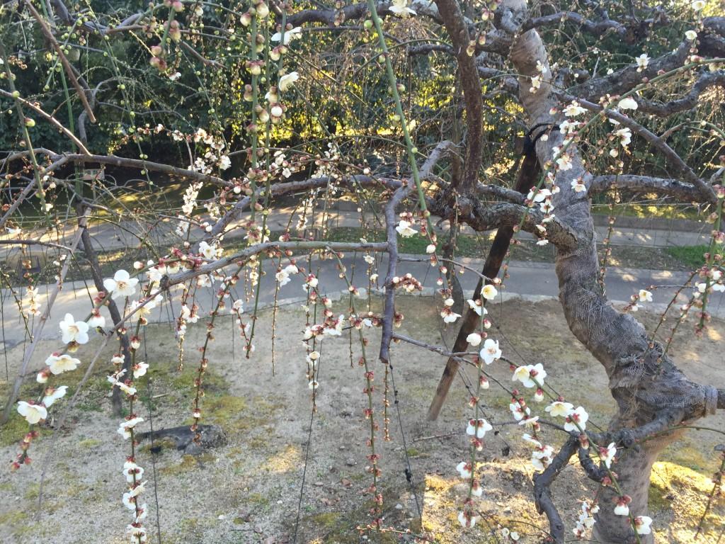 京都の梅スポット「城南宮」枝垂梅と椿まつり8