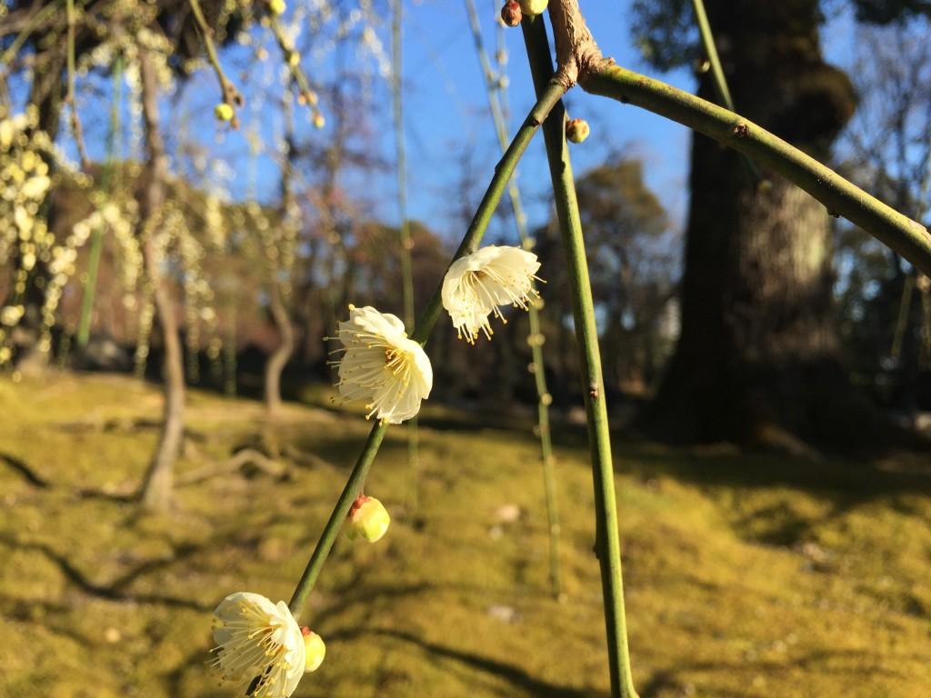 京都の梅スポット「城南宮」枝垂梅と椿まつり11