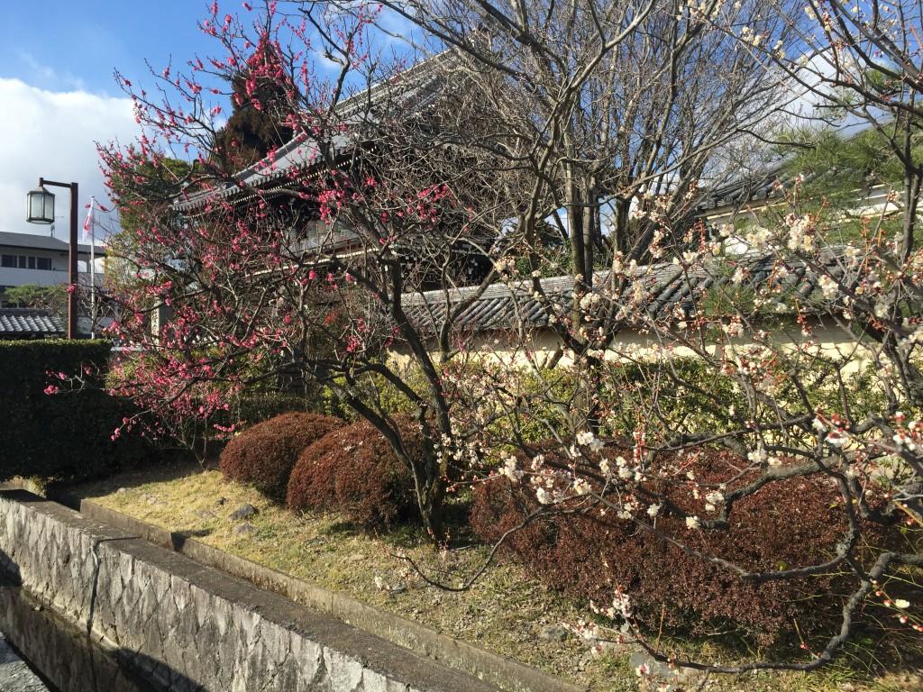 京都の梅スポット「梅宮大社」四条烏丸からバスで30分5