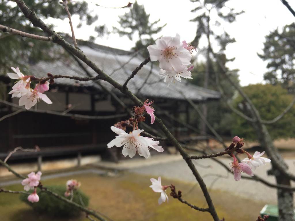 京都太秦広隆寺でほんの少し桜が咲いていました!2