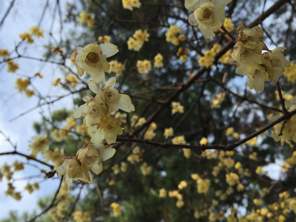 京都の梅スポット 京都御苑 四条烏丸から電車で5分6