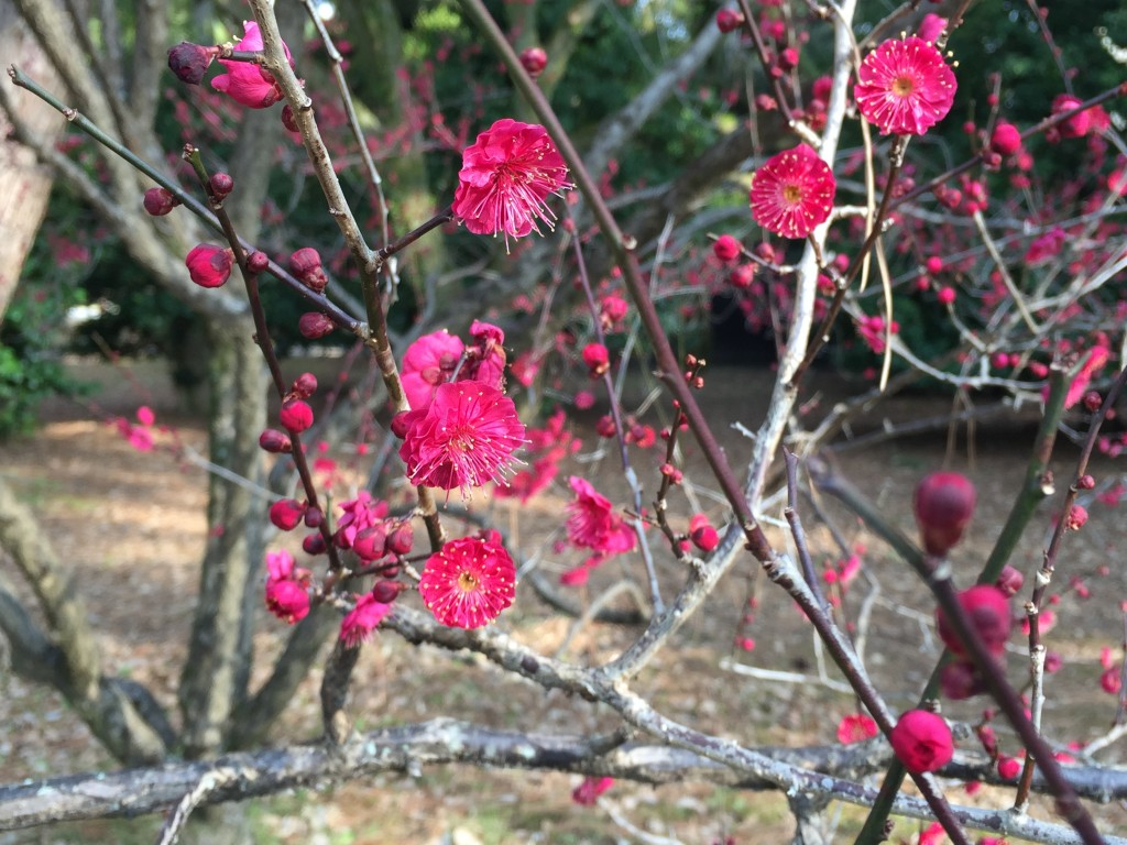 京都の梅スポット 京都御苑 四条烏丸から電車で5分8