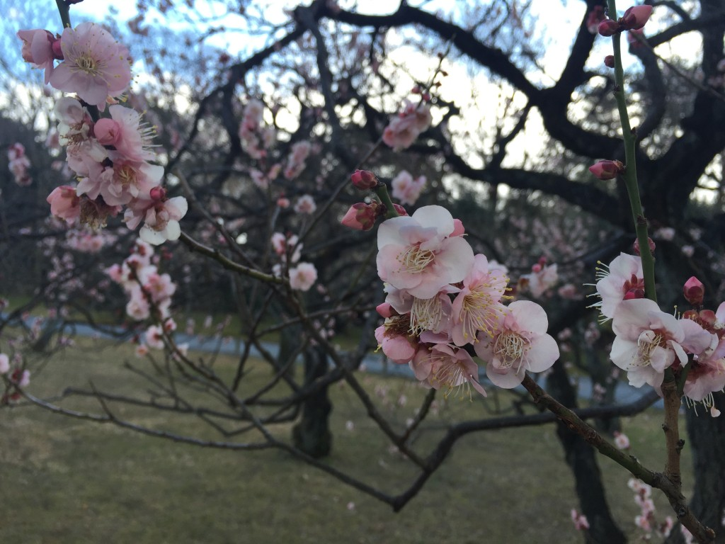 京都の梅スポット「元離宮二条城」四条烏丸からバスで10分4