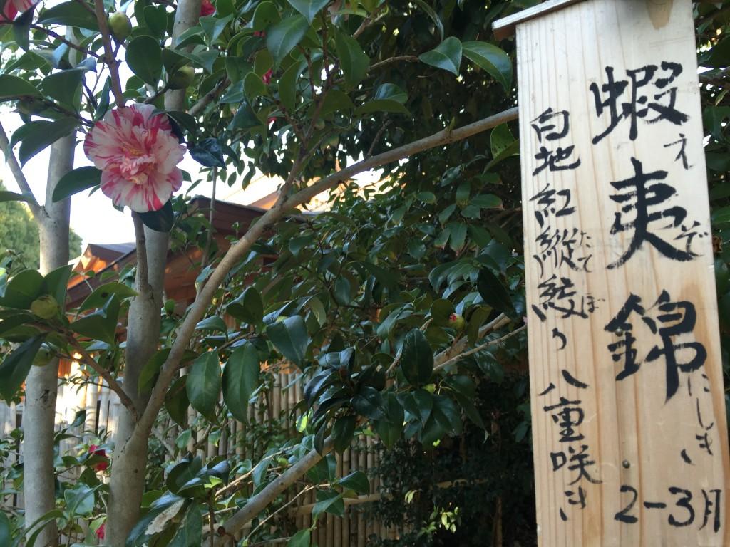 京都の梅スポット「城南宮」枝垂梅と椿まつり3