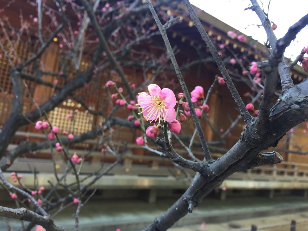 京都の梅スポット「城南宮」枝垂梅と椿まつり9