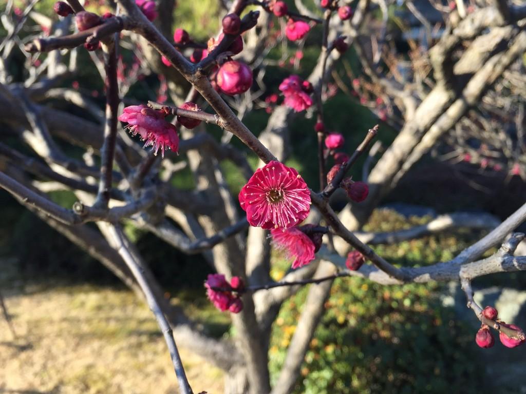 京都の梅スポット「城南宮」枝垂梅と椿まつり10