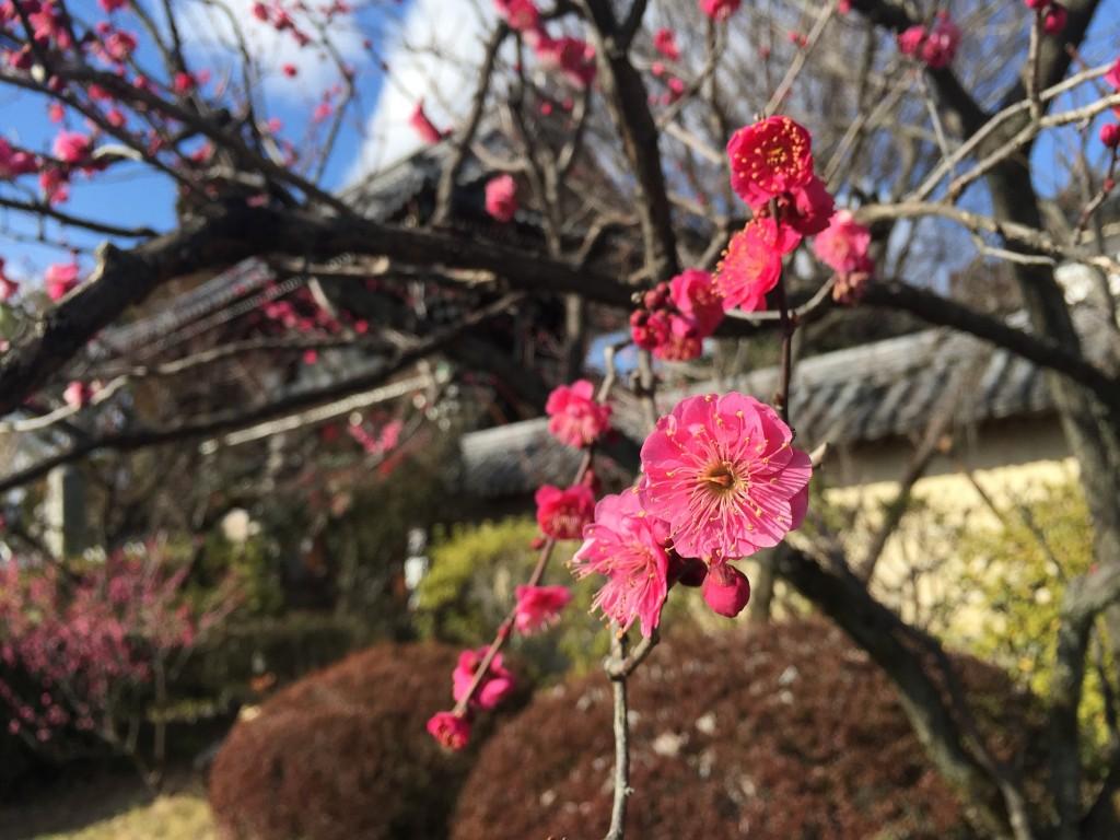 京都の梅スポット「梅宮大社」四条烏丸からバスで30分4