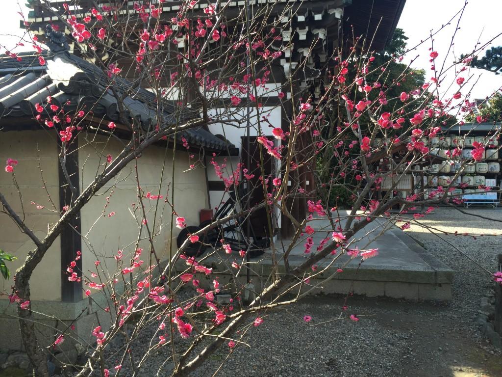 京都の梅スポット「梅宮大社」四条烏丸からバスで30分8