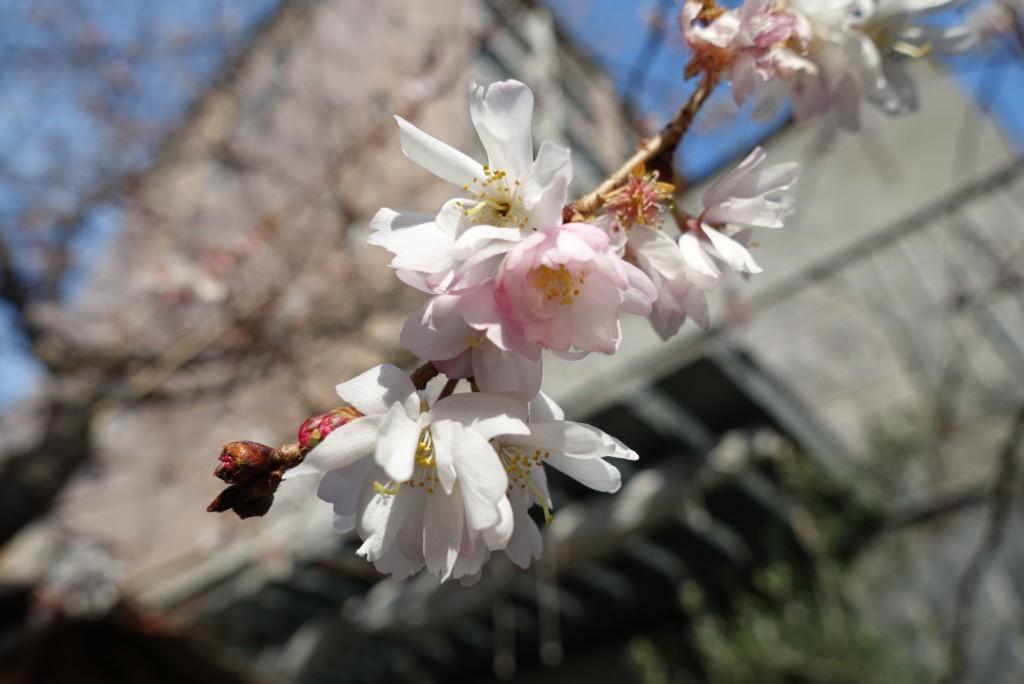 寒い冬に咲く御池桜4