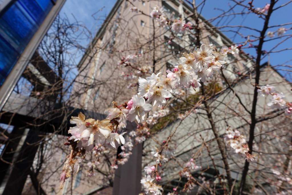 寒い冬に咲く御池桜3