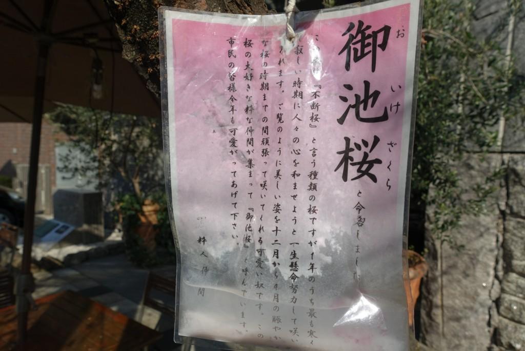 寒い冬に咲く御池桜5