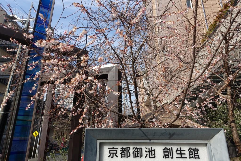寒い冬に咲く御池桜2