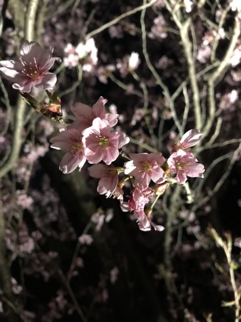 二条城桜まつりライトアップ❣和装の方は入城無料2018年3月23日11