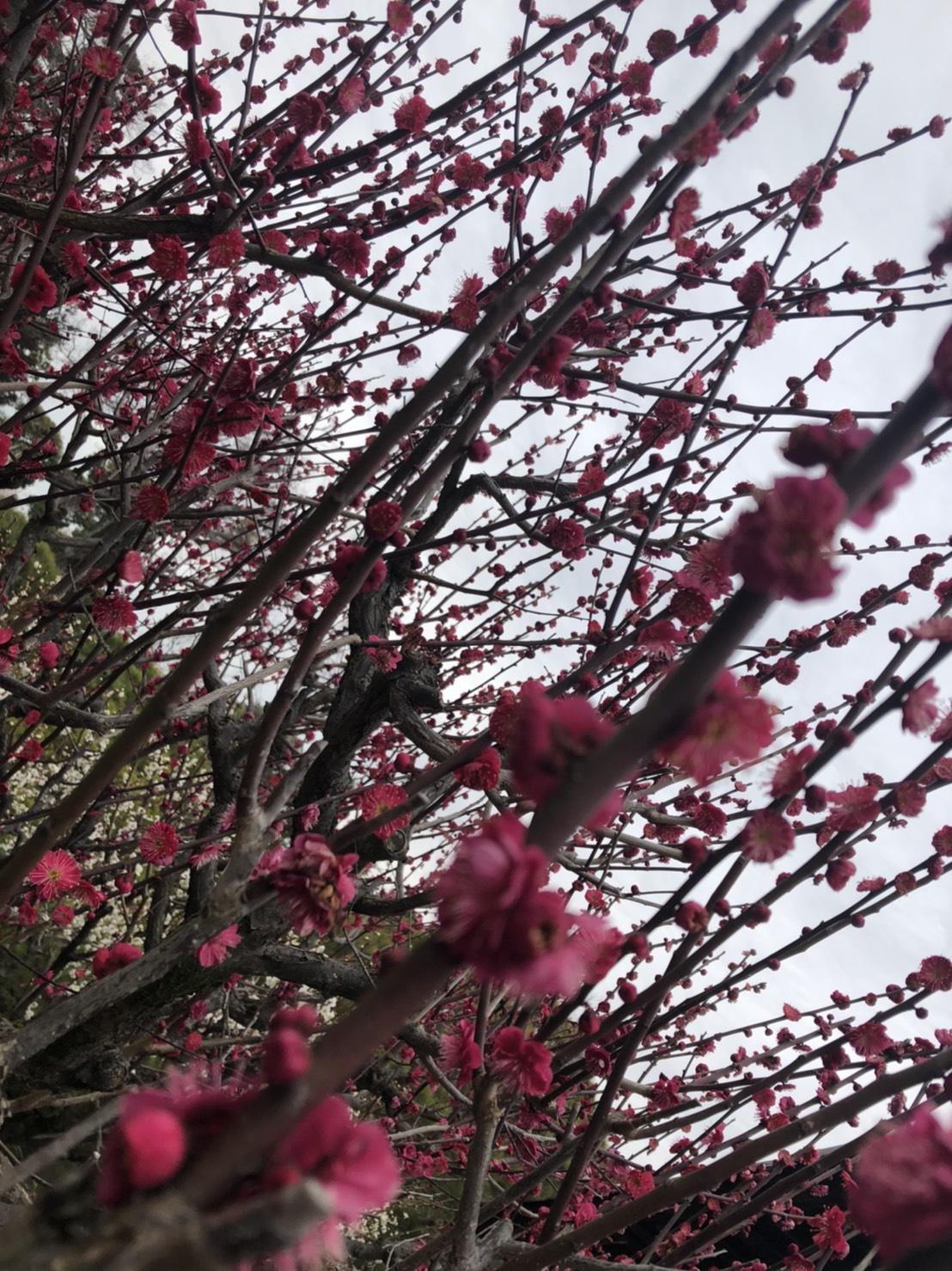 「城南宮」しだれ梅と椿まつり2020年2月25日3